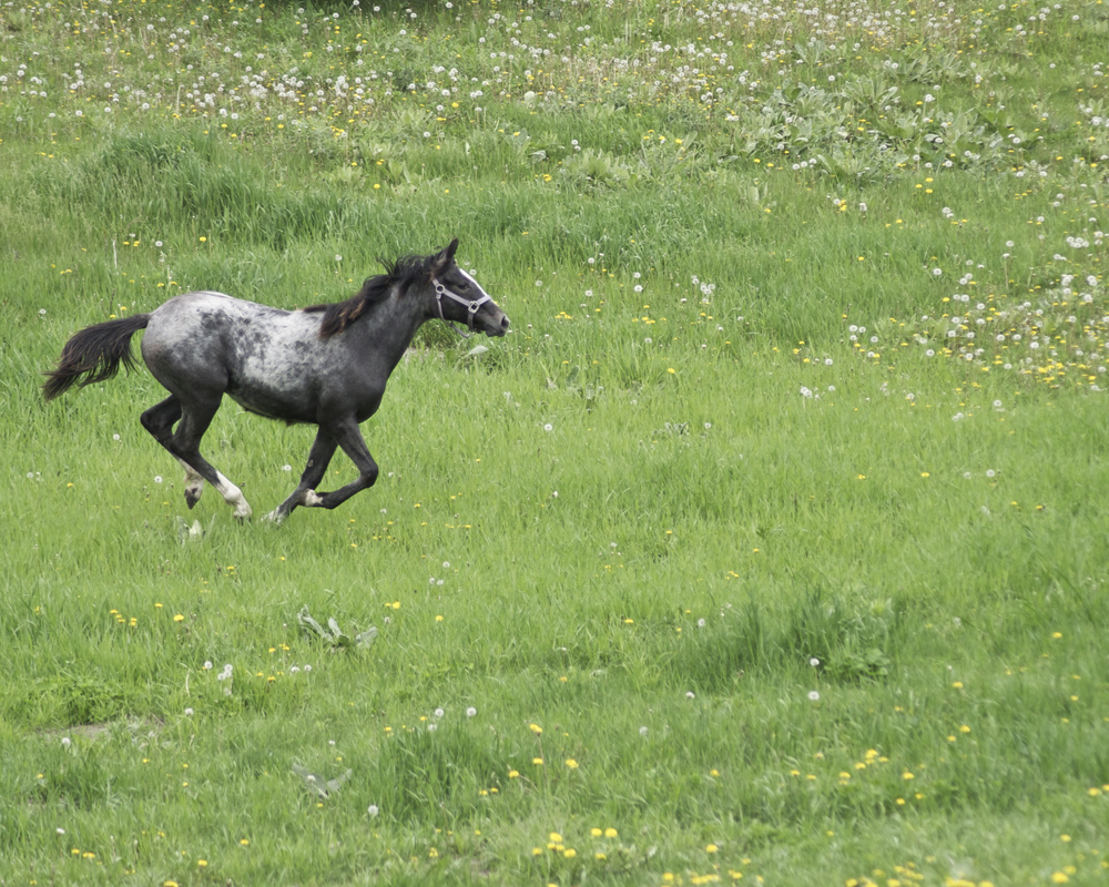 Photo of a running horse