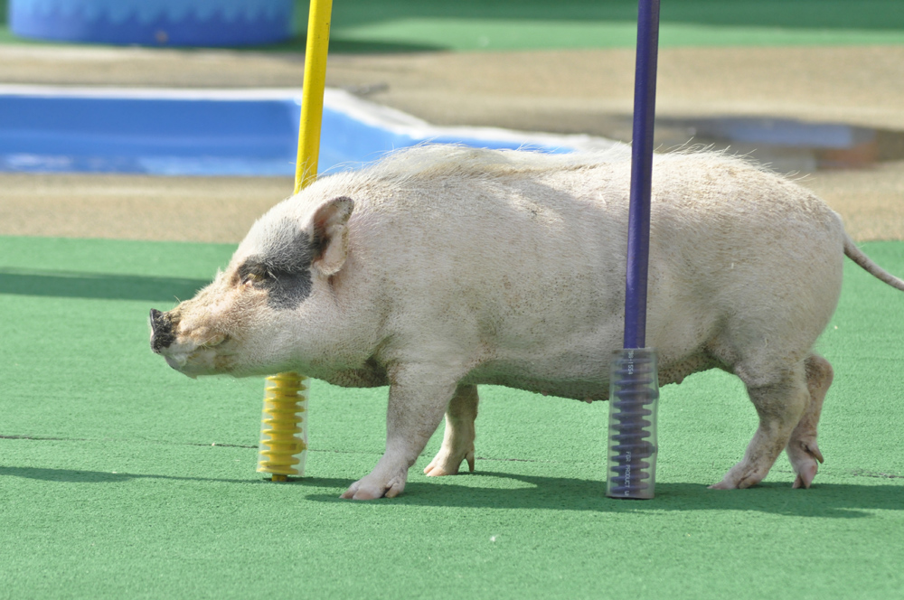 Photo of agility pig